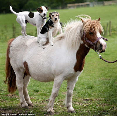 photo shows a white and brown horse (maybe a pony) in a field and two little dogs on its back