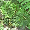 Club foot moss