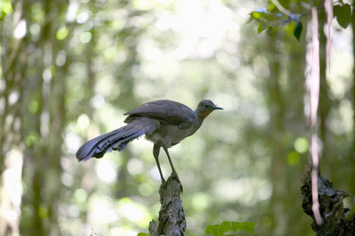 bird_Dorrigo_National_Park - Anyone know what kind of bird this is? Fabulous shot. In the rainforest of Dorrigo National Park of Australia's Mid-North Coast NSW.