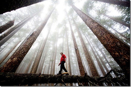 David Hanson crosses a fallen log beneath soaring trees and a lingering fog in Washington's Olympic National Park. (Photo and caption by Michael Hanson)