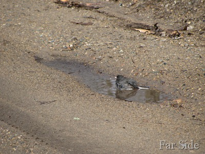 Junco in a mud puddle
