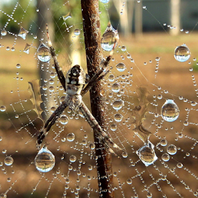 Sunlit Jewels by Diane Hallam - Animals Insects & Spiders ( water, reflection, dewdrops, spider, rain,  )