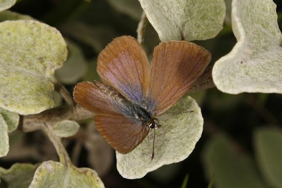 Orachrysops niobe TRIMEN, 1862, mâle. Photo : A. Coetzer (12 février 2008)