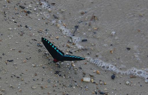 Trogonoptera trojana HONRATH, 1886, mâle, sur la plage de Port Barton, Palawan, août 2005. Photo : J.-M. Gayman