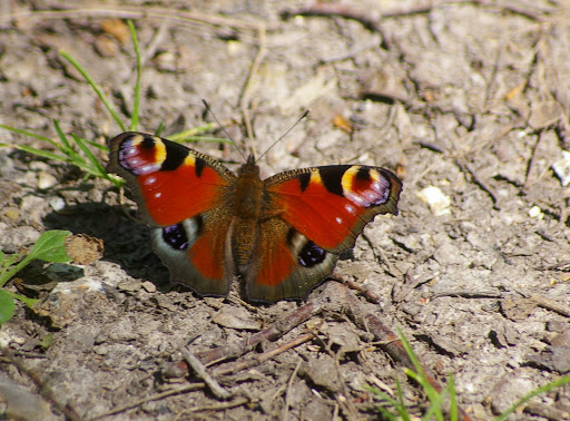Inachis io, les Hautes-Lisières (28260). Photo : J.-M. Gayman. 30 juin 2008