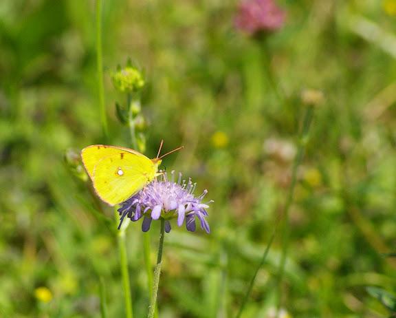Colias croceus FOURCROY, 1785, femelle. Les Hautes-Lisières, 16 juillet 2009. Photo : J.-M. Gayman