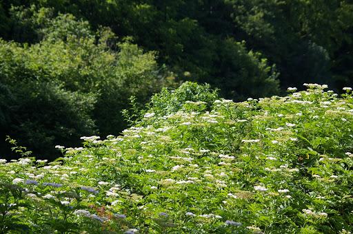 Buisson fleuri où butinent surtout Inachis io et Cynthia cardui. Les Hautes-Lisières, 13 juillet 2009. Photo : J.-M. Gayman