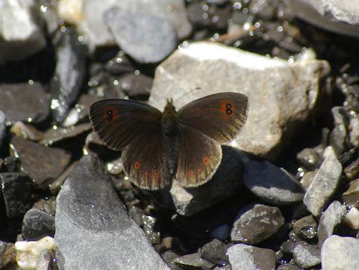 Erebia cassioides aquitania FRUHSTORFER, 1909. Vallon Claous, 1900 m (Mélezen, Alpes-de-Haute-Provence), 7 août 2009. Photo : J.-M. Gayman