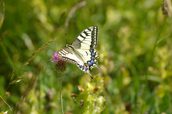 Papilio machaon LINNAEUS, 1758. Super Sauze, 2050 m (Alpes-de-Haute-Provence), 4 août 2009. Photo : J.-M. Gayman