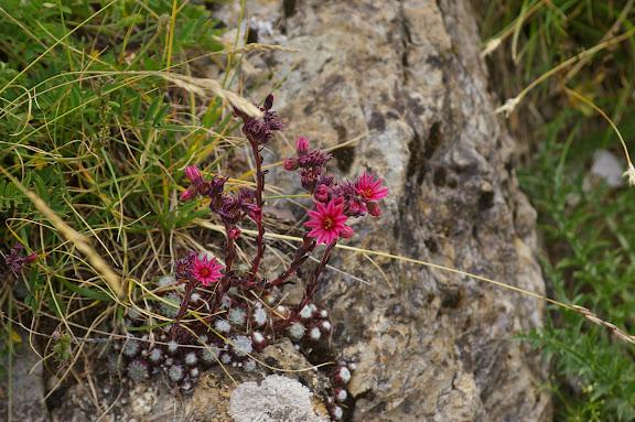 Joubarbe (Crassulacées) : plante nourricière de Parnassius sacerdos. Vallon de Plate Lombarde (Fouillouse). 3 août 2009. Photo : J.-M. Gayman