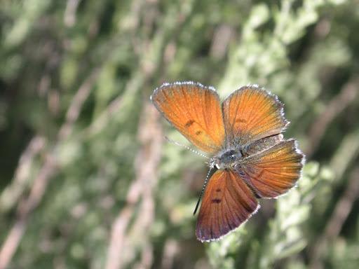 Hyrcanana pamira NEKRUTENKO, 1983, femelle, Vanj Mts, 2400-2800 m, 20.VII.2009, Tadjikistan. Photo : J.-F. Charmeux