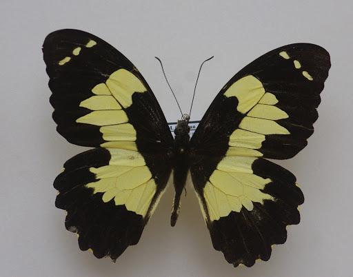 Papilio euchenor GUÉRIN-MÉNEVILLE, 1830, mâle. Warkapi, août 2007. Photo : J.-M. Gayman