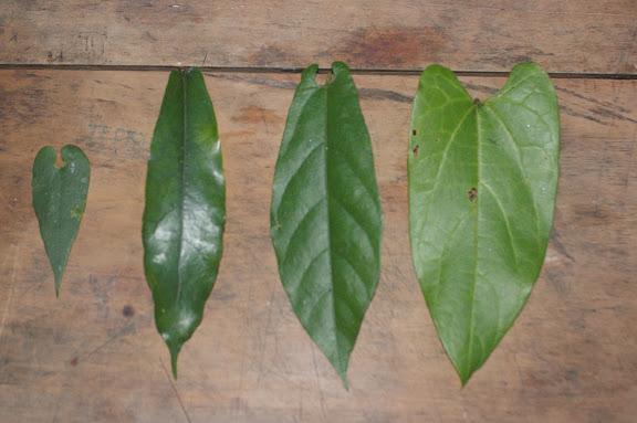 Aristoloches, plantes nourricières des Ornithoptères. De gauche à droite :