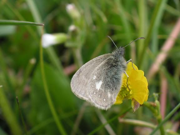 Coenonympha mahometana mahometana ALPHÉRAKY, 1881. Chon Ashuu, Kyrgyzistan (7 juillet 2006). Photo : J. Michel