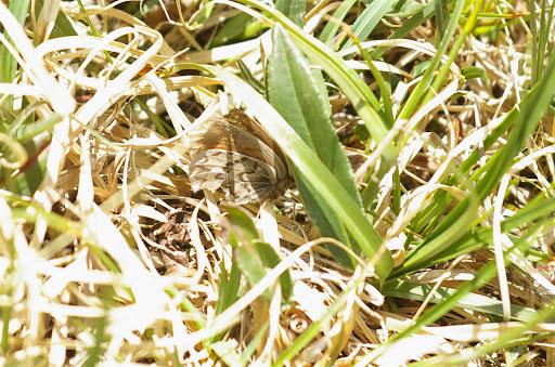 Erebia mongolica mongolica ERSCHOFF, 1888. Kara Say (altitude : 3900 m), 12 juillet 2006. Photo : J.-M. Gayman