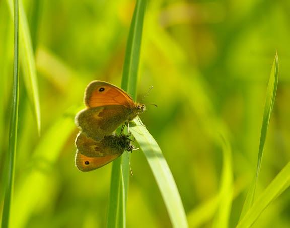 Accouplement de Coenonympha pamphilus LINNAEUS, 1758. Hautes-Lisières (Rouvres, 28), 7 juin 2010. Photo : J.-M. Gayman