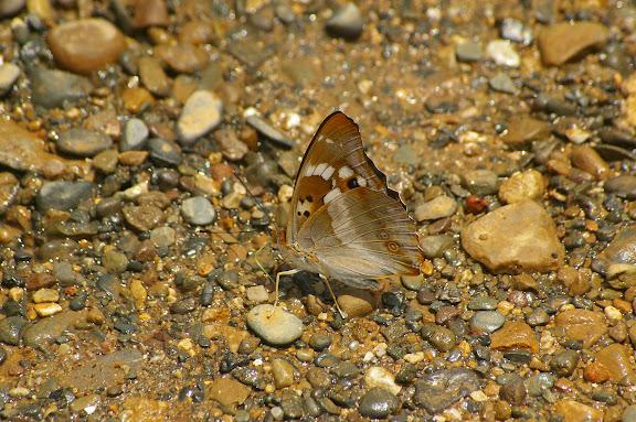 Apatura ilia yunnana MELL, 1952. Shaxi (Yunnan), 12 août 2010. Photo : J.-M. Gayman