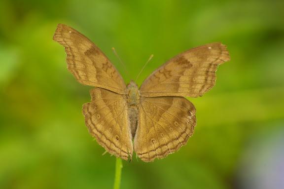 Junonia iphita iphita CRAMER, 1779, femelle. Village de Mandian (700 m), Xichuangbanna (Yunnan), 25 août 2010. Photo : J.-M. Gayman