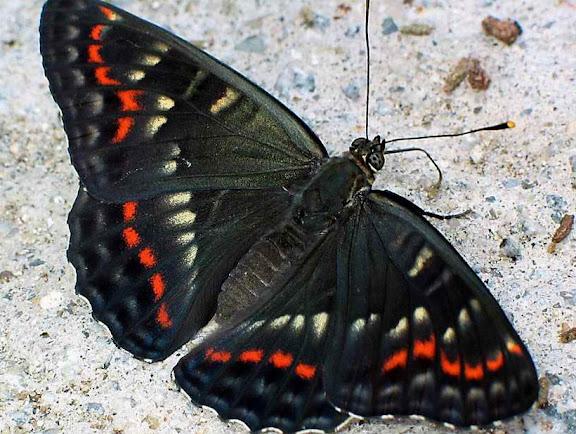 Seokia (Limenitis) pratti eximia, MOLTRECHT, 1909, endémique des Mts Sikhota Alin. Oussouri (Primorskoe oblast), juin 2004. Photo : N. N. Balatskij