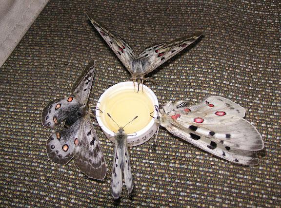 Alimentation de Parnassius delphius et de Parnassius apollo merzbacheri. Karakol, 8 juillet 2006. Photo : J. Michel