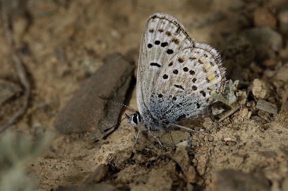 Polyommatus icarus bienerti BALINT, [1993]. Kichi Kara Kuchur (2600 m) au Sud de la Dolon Pass, 16 juillet 2006. Photo : B. Lalanne-Cassou
