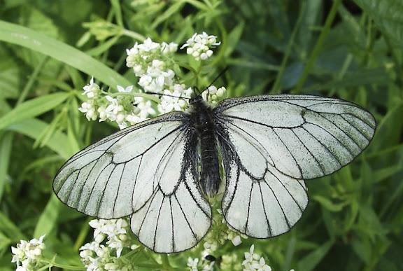 Parnassius (Driopa) stubbendorfii MÉNÉTRIÈS, 1849, mâle. Novosibirsk, Russie, 26 juin 2006. Photo : Andylog