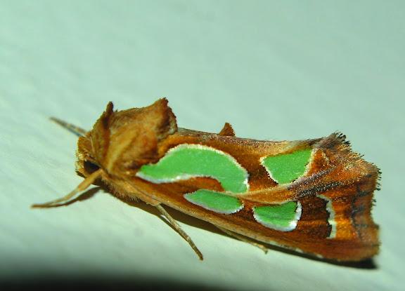 Noctuidae : Amphipyrinae : Cosmodes elegans DONOVAN, 1805. Umina Beach, 17 décembre 2010. Photo : Barbara Kedzierski. Cf. : http://lepidoptera.butterflyhouse.com.au/amph/elegans.html