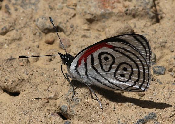 Biblidini : Diaethria clymena peruviana GUENÉE, 1872. Route de Manu (Madre de Dios), Pantiacolla Lodge, 11 décembre 2008. Photo : Benoit Nabholz