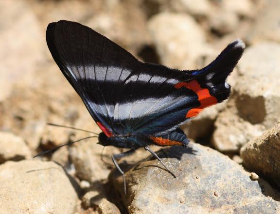 Riodininae : Riodinini : Rhetus arcius L., 1763, femelle. Route de Manu (Madre de Dios), Pantiacolla Lodge, 11 décembre 2008. Photo : Benoit Nabholz