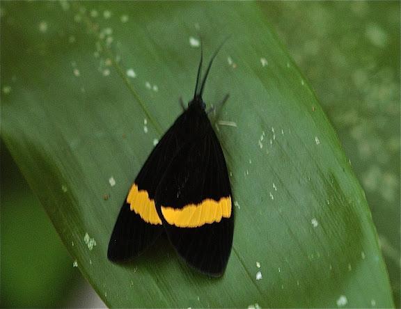 Arctiidae : Arctiinae : Pericopini : Sagaropsis horae, DRUCE, 1885. Puerto Maldonado (Madre de Dios, Pérou), 4 janvier 2011. Photo : Meena