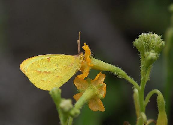 Coliadinae : Teriocolas pacis Röber, 1909. Lac Huacarpay (3150 m) à l'est de Cuzco (Pérou), 27 décembre 2010. Photo : Meena