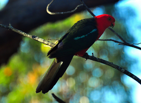 Australian King Parrot : Alisterus scapularis Lichtenstein, 1818. Ettalong, 21 novembre 2010. Photo : Barbara Kedzierski