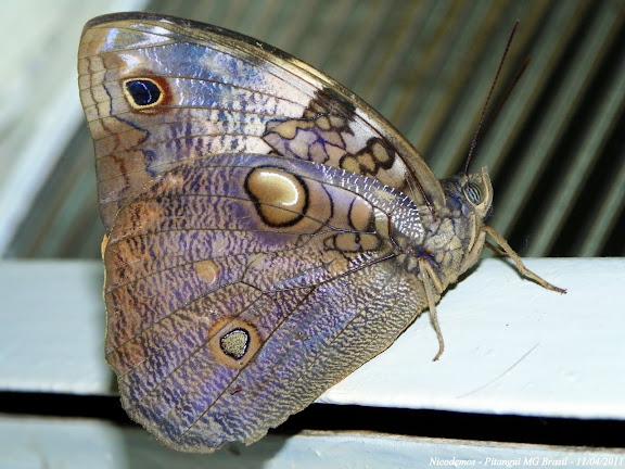 Opsiphanes invirae HÜBNER, (1808), verso. Pitangui (MG, Brésil), 11 avril 2011. Photo : Nicodemos Rosa