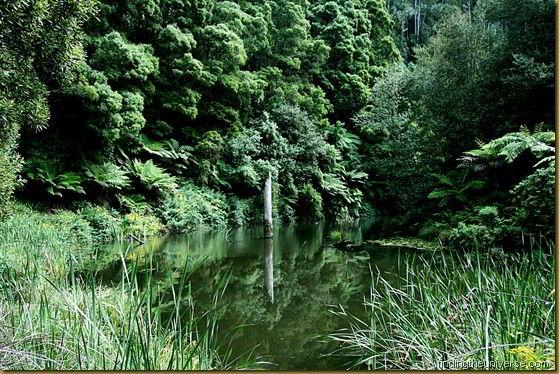 Flooded tree reflection, Otways National Park, Victoria, Australia