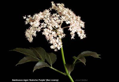 Sambucus nigra 'Guincho Purple' inflorescence - Bez czarny 'Guincho Purple' kwiatostan