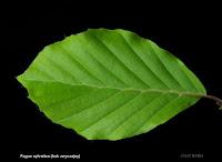 Fagus sylvatica leaf - Buk zwyczajny liść