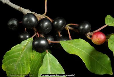 Frangula alnus fruit - Kruszyna pospolita owoce