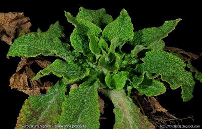 Verbascum nigrum - Dziewanna pospolita rozeta liści odziomkowych