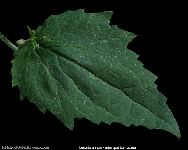 Lunaria annua leaf - Miesiącznica roczna liść