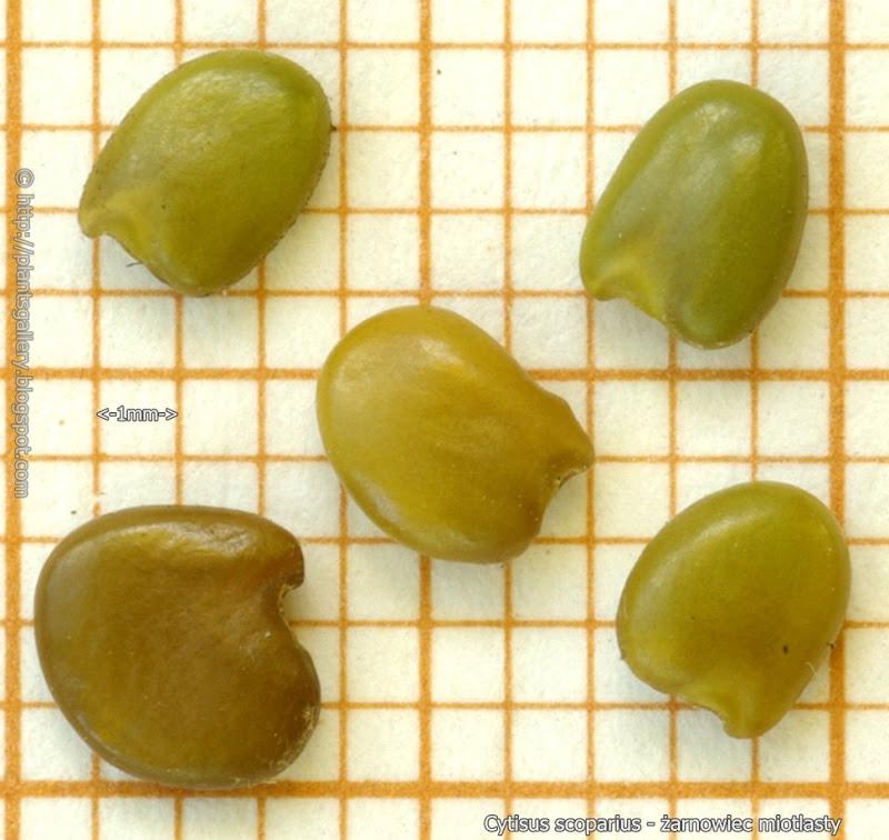 Cytisus scoparius seeds - Żarnowiec miotlasty nasiona