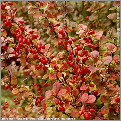 Berberis thunbergii 'Red Pillar' - Berberys Thunberga 'Red Pillar'