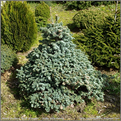 Abies procera 'Blue Wonder' - Jodła szlachetna 'Blue Wonder'