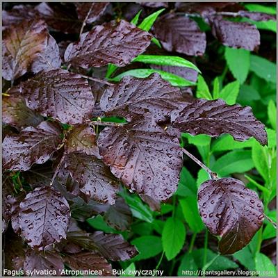 Fagus sylvatica 'Atropunicea' - Buk zwyczajny 'Atropunicea'