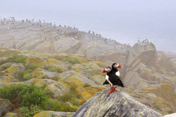 Atlantic Puffin Pair photography at Machias Seal Island, Maine