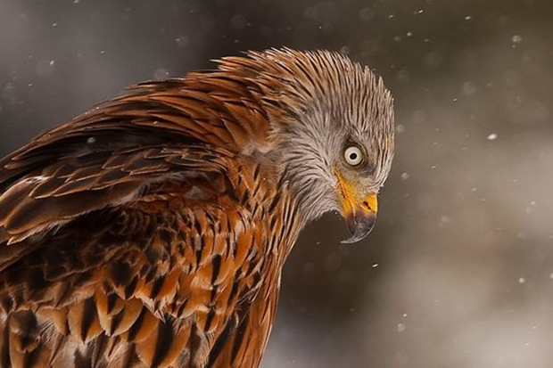 prey-Birds-photography-eagle