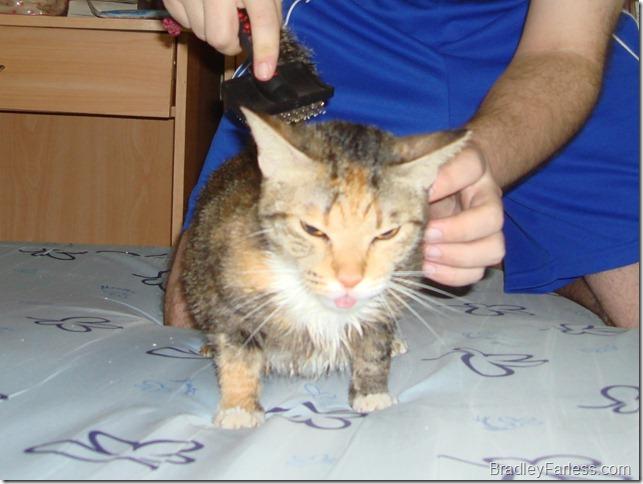 Dapper getting brushed after her bath.