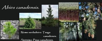 Homeopatiamed Medicamentos Abies Canadensis