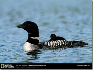 common-loon national geographic