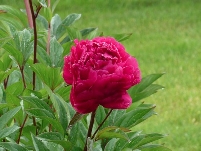 Close up of our Peonies in our back yard.  Picture was taken from the deck and zoomed in