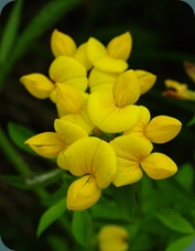Yellow pea or yellow wild indigo Baptista (1)